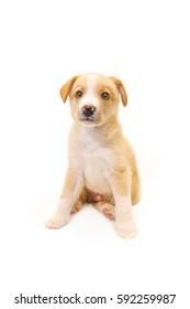 Golden-white puppy in the studio