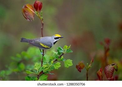 A Golden-winged Warbler clings to a branch while searching for food in soft overcast light with wet leaves around it.