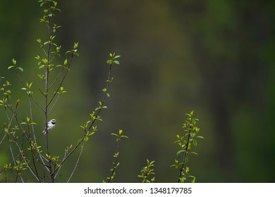 A Golden-winged Warbler clings to an open tree in soft light with a smooth green background.