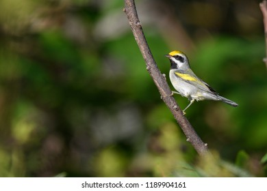 Golden-winged Warbler on a branch
