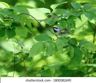 Golden-winged Warbler on Tree Branch in Spring
