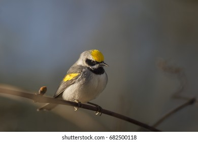 A Golden-winged Warbler sits on a small perch in the early morning sun for a dramatic portrait.