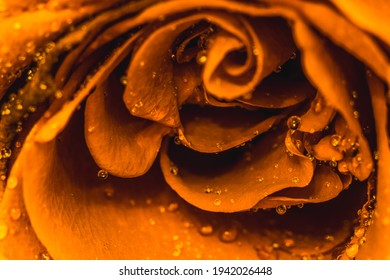 GoldenYellow rose macro detail, symbol of love
