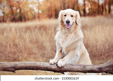 Golder retriever holding paws on a wooden fence