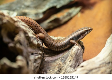 Goldfields Crevice-skink or Egernia Formosa an endemic lizard from Australia