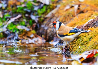 goldfinch in the autumn forest puddles