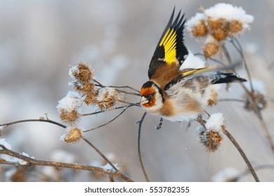 Goldfinch bird fly away from branch of burdock