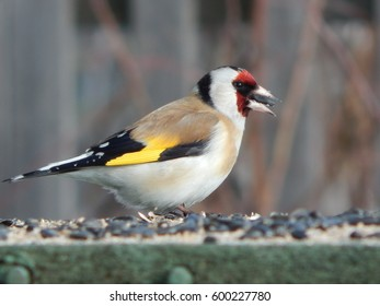 goldfinch bird and its nestlings in the wild