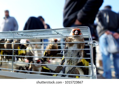 Goldfinch in the cage