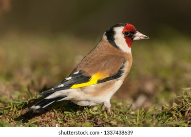 Goldfinch - Carduelis carduelis, portrait looking for food, plumage and colors