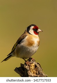 Goldfinch (Carduelis carduelis) The unmistakable and popular goldfinch is one of the most common and widespread species