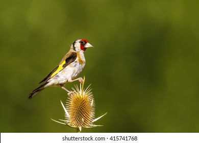 Goldfinch European Goldfinch / Carduelis carduelis
