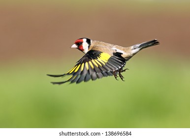 Goldfinch in flight, Lochwinnoch, Scotland.