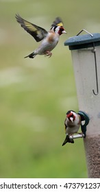 Goldfinch in flight towards a birdfeeder whilst another Goldfinch is perched on the feeder