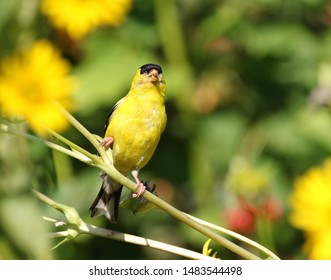 A goldfinch in the garden.