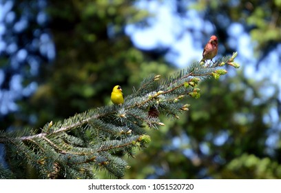 Goldfinch and House Finch Males Perched on Fir Bough, Olympic Peninsula, Washington, USA