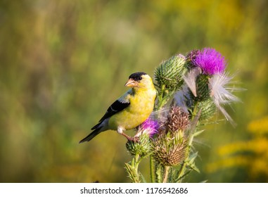 Goldfinch on a flower at a local wetland in Ottawa