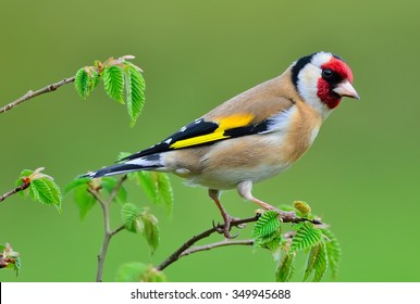 Goldfinch on a Rowan tree. Colourful Goldfinch perching on a Rowan tree. Nice detail of the eye and feathers.