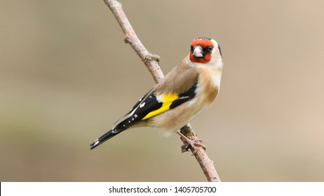 Goldfinch perched on a branch in Holton Lee, Dorset.