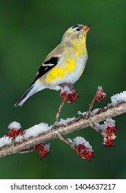 A goldfinch is perched on a tree bud on a snowy spring day.