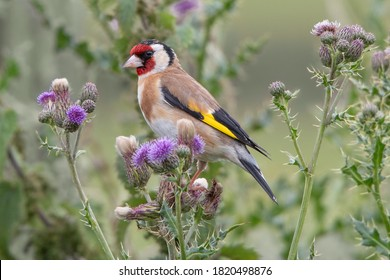 Goldfinch perched in purple thistle flowers