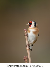 Goldfinch perching on a branch