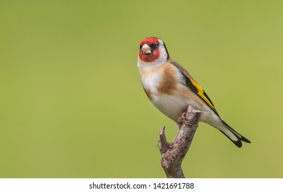 A Goldfinch perching on a branch with a green background