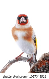 goldfinch seated on a stalk of a sunflower isolated on a white background