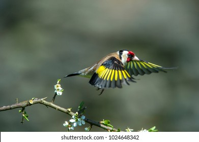 Goldfinch,Carduelis carduelis in flight