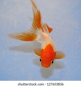 Goldfish  against a background in plastic tank