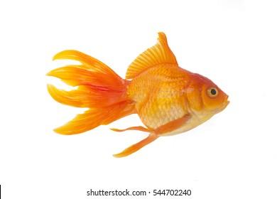 Goldfish anatomy,goldfish isolated on white background.