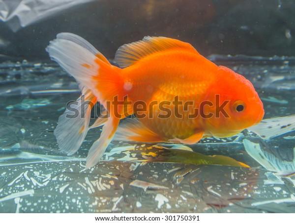 The Goldfish in aquarium.