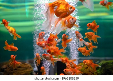 Goldfish in an aquarium with bubbles in the water.