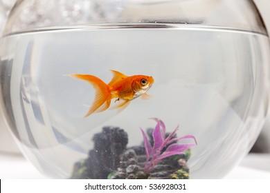 Goldfisch in einem Aquarium, Nahaufnahme