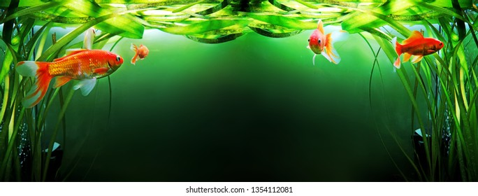 Goldfish in aquarium with green plants. Abstract relax photo.