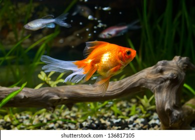Goldfish in aquarium with green plants, snag and stones