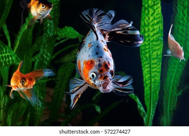 Goldfish, aquarium, a group of fish on the background of aquatic plants