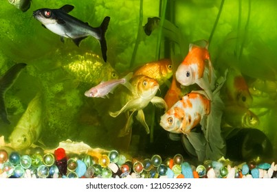 Goldfish Aquarium Wallpaper