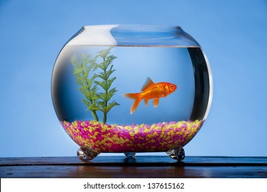Goldfish in a beautiful round goldfish bowl with colored stones and a plant.