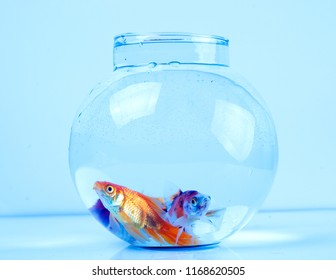 Goldfish in a beautiful round fish bowl.
