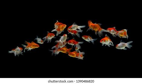 Goldfish carassius auratus black background
