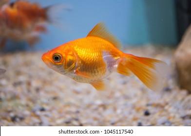 Goldfish (carassius auratus) in a freshwater aquarium