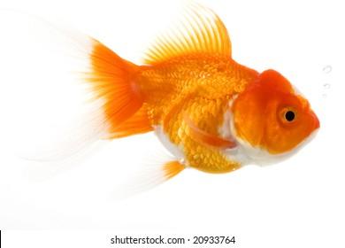 Goldfish (Carassius auratus) on white background.