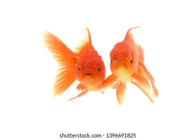 Goldfish carassius auratus  white background