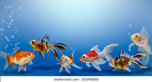 Goldfish collage on blue background, different colorful carassius auratus in aquarium, banner with copy space