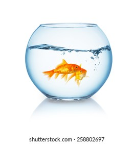 goldfish couple in a wavy fishbowl on white