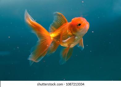 Goldfish feeding in aquarium