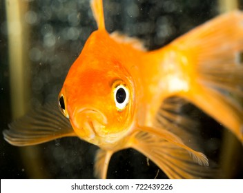 goldfish floating in an aquarium at home
