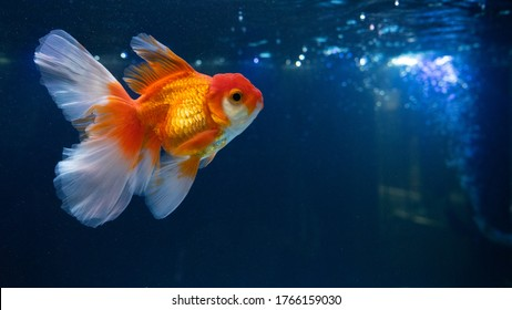 Goldfish in fresh water aquarium