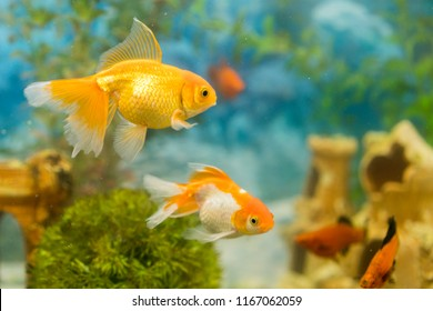 Goldfish in freshwater aquarium with green beautiful planted tropical. fish in freshwater aquarium with green beautiful planted tropical.